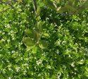 Bunndekkere hagens beste ugressmiddel, myske, galium odoratum