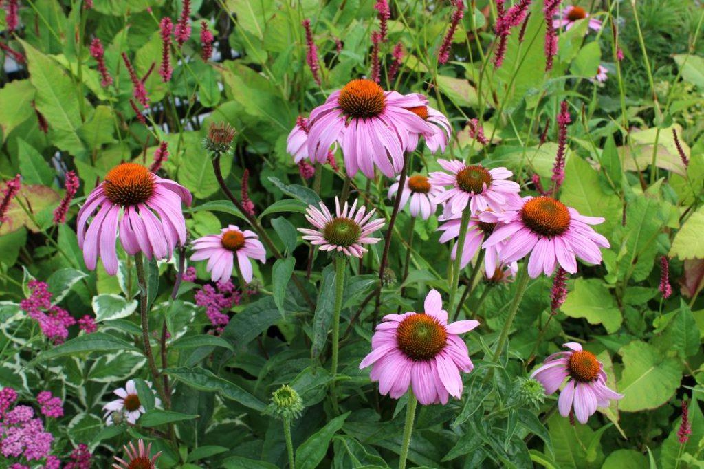 Solelskende planter i rosa med solhatt