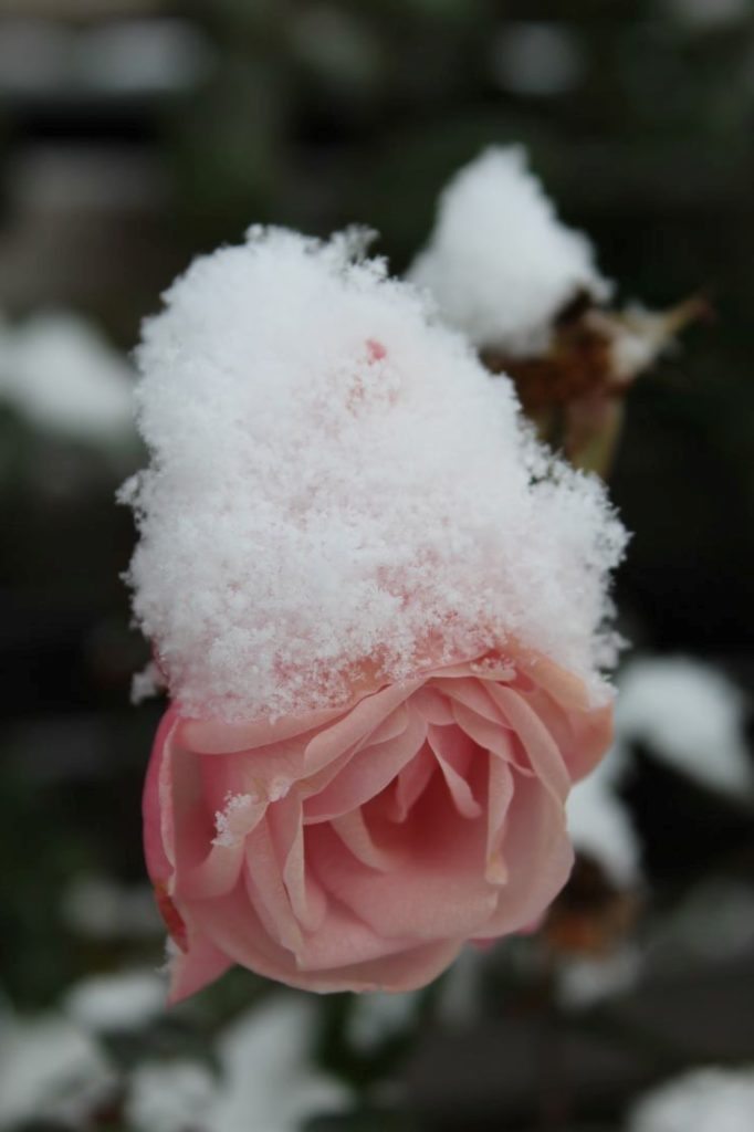 Rose med snø, New Dawn
