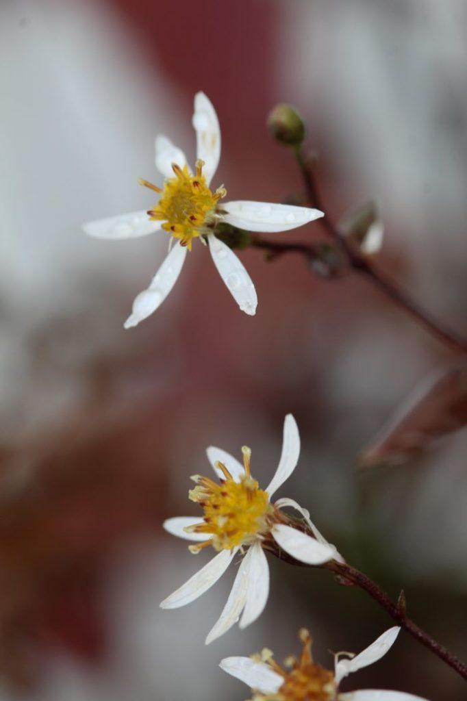11 nyttige tips til å finne planter. Skogasters, Aster divaricatus