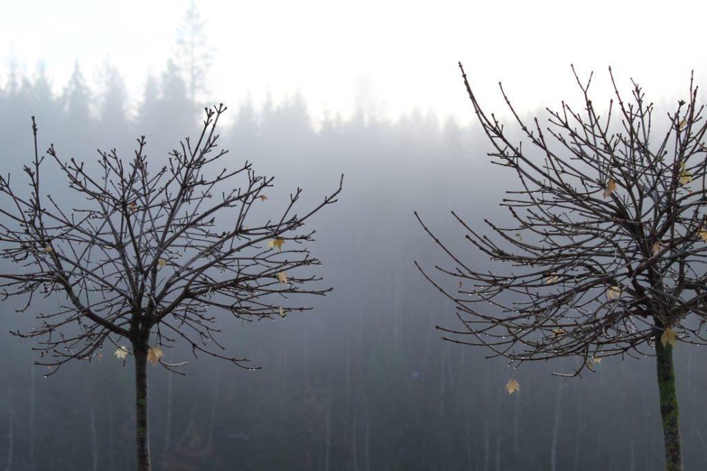 Kulelønn (Acer globosum) i tåka på høsten