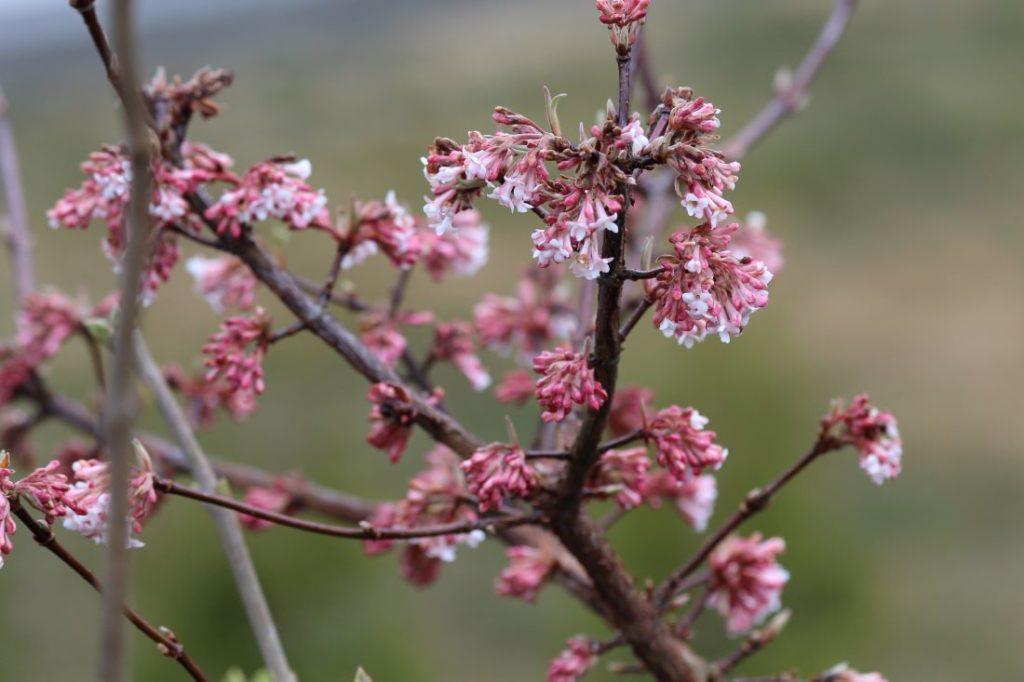 Busk med rosa blomster, Duftskrossved, Viburnum 'Charles Lamont'